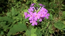 Phlox carolina  wild blooming in abundance today