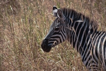 Photo of a Zebra I took on a Safari in Tanzania -  OC