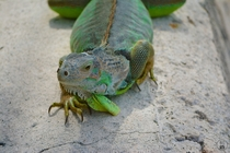 Photogenic Green Iguana - Key West FL USA