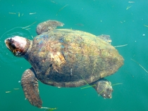 Pic #1 - A Majestic Loggerhead Sea Turtle in Kefalonia Greece Caretta Caretta  Link to more photos in comments