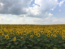 Picture of a sunflower field I took in Ukraine during a biking trip last summer  x