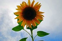 Picture of a Sunflower I took yesterday while walking around a lake