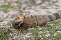 Picture of an Iguana in the Bahamas