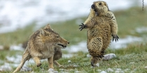 Picture of battle between Tibetan fox a marmot wins wildlife photo contest