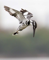 Pied Kingfisher hovering over a lake in India