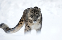 Piercing gaze of the Snow Leopard Uncia uncia Michel Zoghzoghi