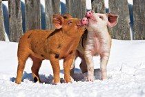 Pig Nuzzles