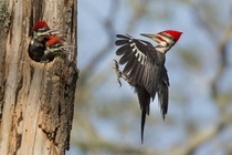 Pileated Woodpeckers by Linda Cullivan