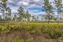 Pine flatwoods ecosystem at Hal Scott Preserve near Orlando Florida