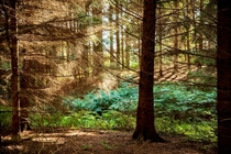 Pine forest in Summer Cheshire UK