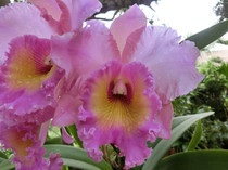 Pink and yellow orchid from my yard More pics in the comments