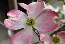 Pink Dogwood Flower state flower of Virginia and North Carolina