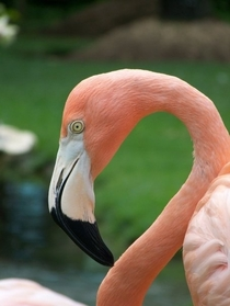 Pink Flamingo Phoenicopterus sp photographed in the Dominican Republic