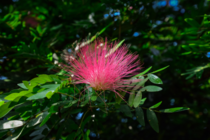 Pink Powderpuff Calliandra surinamensis