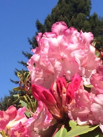 Pink Rhododendron Humboldt County CA