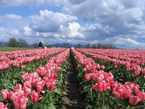 Pink Tulips in the Skagit Valley Washington State USA