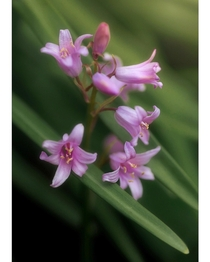 Pinkbells instead of bluebells for a change Hyacinthoides Hispanica Scilla Campanulata