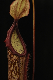 Pitcher of Nepenthes Miranda