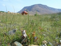 Pitcher Plant Newfoundland