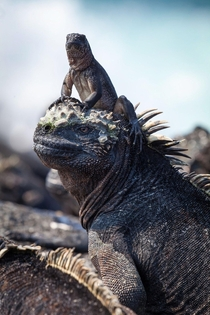 Planet Earth IIs Iguanas