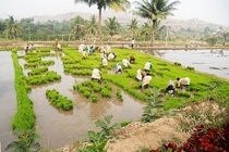 Planting Paddy Deccan Plateau India