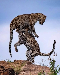 Playful killers Two leopards playfighting in Serengeti national park Tanzania