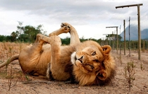 Playful Lion