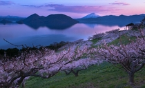 Plum trees in full bloom with Mt Yotei nicknamed Ezo-Fuji in Japan Photo by Mitsuhiko Kamada