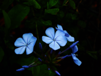 Plumbago auriculata they were too bright so I darkened it