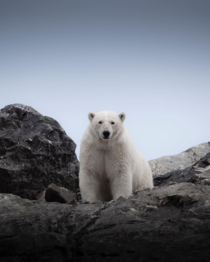 Polar Bear at Svalbard photo by Antoine Janssens