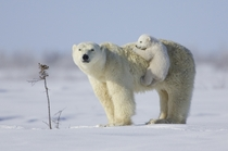 Polar bear cub plays with its mother