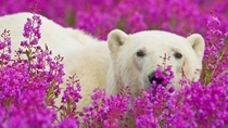 Polar Bear in Field of Flowers