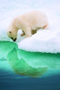 Polar bear looking at his reflection x-post from rawwducational