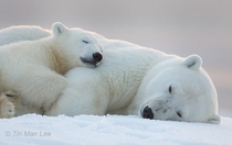 Polar Bear Mother and Cub Sleeping in the Snow