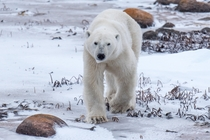 Polar Bear on the prowl in Churchill Manitoba