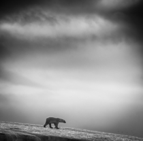 Polar bear Ursus maritimus at Svalbard By Wilfred Berthelsen