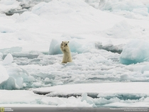 Polar bear Ursus maritimus doing the Macarena
