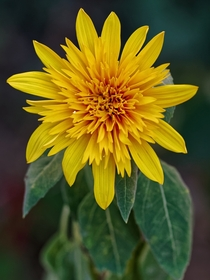 Pollenless Sunflower