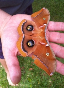 Polyphemus Moth Antheraea polyphemus in my backyard Florida  OC