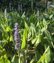 Pond blooms Pickerelweed Pontederia cordata