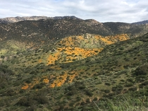 Poppies in Poway  Superbloom