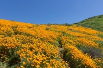 Poppies in Walker Canyon