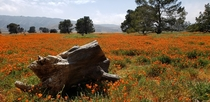 Poppy Explosion in Middle-of-Nowhere Lancaster California