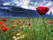 Poppy field - England