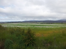 Poppy fields in Tasmania Australia