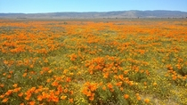 Poppy fields of Antelope Valley CA