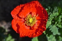 Poppy Papaver somniferum
