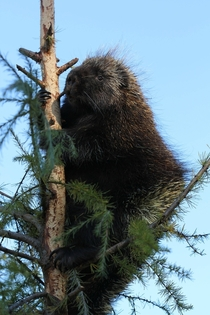 Porcupine sitting in a tree