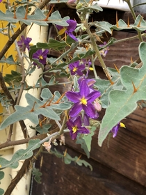 Porcupine Tomato Solanum pyracanthos or murder plant if you ask my Roomate it is so happy in bloom