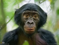 Portrait of a Bonobo Pan paniscus courtesy of National Geographic Remarkably human